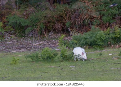 Bruny Island, Tasmania, Australia, albino, white bennett's wallaby or red-necked wallaby
