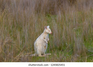 Bruny Island, Tasmania, Australia, albino, white bennett's wallaby or red-necked wallaby with its eyes closed
