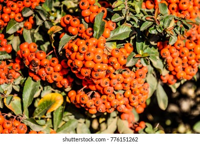 Brush berry. Orange autumn berries of Pyracantha with green leaves on a bush