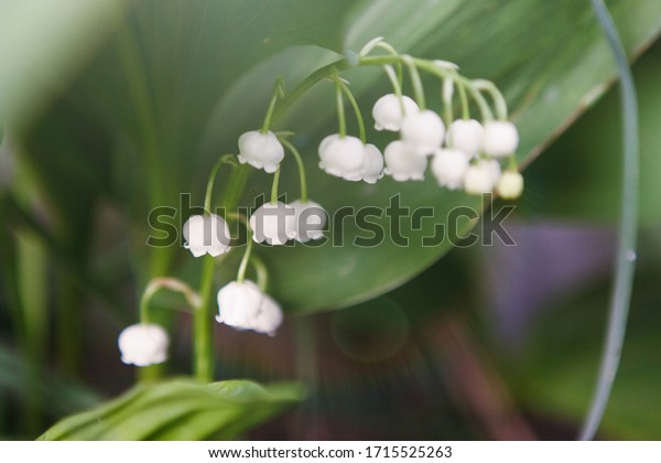 Brush of lily of the valley May, silver, close-up. Delicate white fragrant flowers gracefully wilted. Selective focus. Blur background.