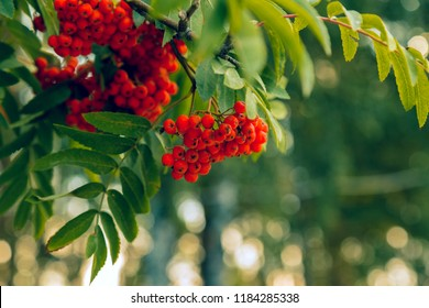 Brush with ripe berries of red mountain ash on a branch with oblong green leaves