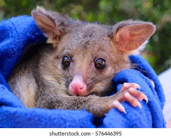 brush tailed possum orphan