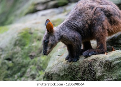 Brush tailed rock-wallaby or small-eared rock wallaby Petrogale penicillata ready to jump from a rock in NSW Australia