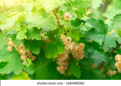 Brush of white currant berries and green leaves. White currant Ribes rubrum White grape Close up. Macro.
