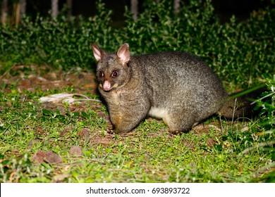Brushtail possum standing on grass at night in the Australian bush