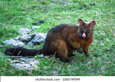 A brushtail possum (Trichosurus sp.) in a grassy field in the Mt. Aspiring National Park, New Zealand.