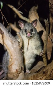 The brush-tailed possum in Australia looking with interest in the night from the tree.