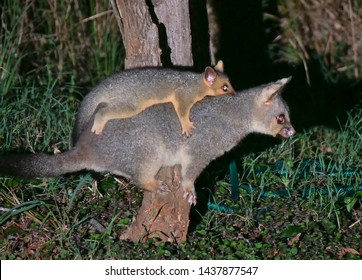 Brush-tailed possum mother and young riding on her back (too large for the pouch), in a backyard of a leafy suburb where wildlife is encouraged by properties retaining native vegetation.