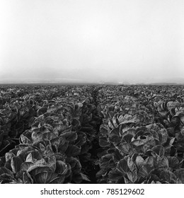 A Brussel sprout field shot on film