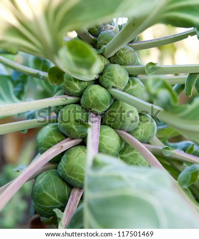 Brussel Sprouts on a Farm
