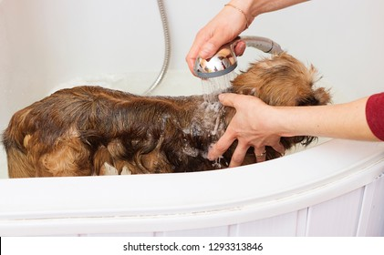 Brussels Griffon dog bathes in the bathroom at the groomer