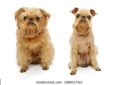 Brussels Griffon dog breed before and after haircut isolated on white