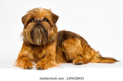 Brussels Griffon dog looking on a white background