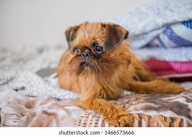 Brussels Griffon dog portrait, resting on the bed