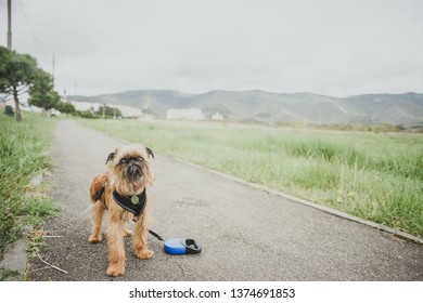 Brussels Griffon is having a walk on a leash, mountains on background
