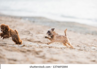 Brussels Griffon playing and chasing other dog on the beach