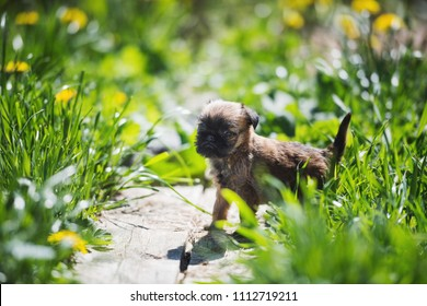 Brussels Griffon puppy one month old walks in a flower field
