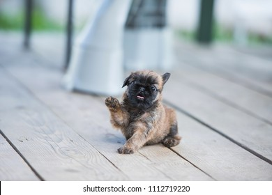 Brussels Griffon puppy one month old plays with a wind, tongue out