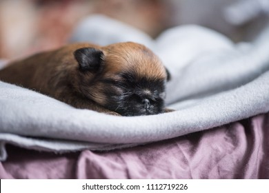Brussels Griffon puppy two weeks old sleeps