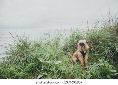 Brussels Griffon resting on the grass, sea on the background