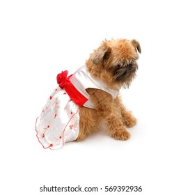 Brussels Griffon in a wedding dress on a white background