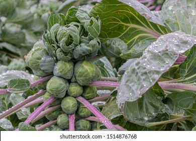 Brussels sprouts plant after rain on a field in Northern Germany