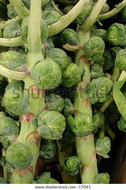 Brussels Sprouts -- still on their stalks.