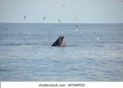 Bryde whale at gulf of thailand