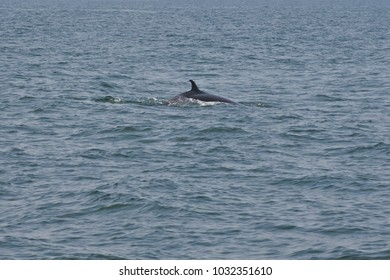 Bryde whale swim to the water surface to exhale by blowing the water into the air. There are many Bryde whales living in the gulf of Thailand.