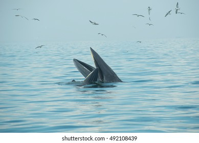 Bryde  Whale,Eden's whale feeding parent-child pairs in the Gulf of Thailand.