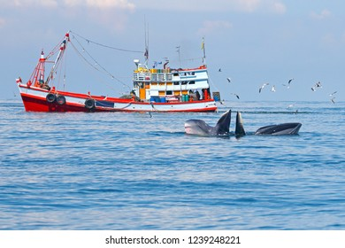 Bryde's Whale Balaenoptera edeni and fishing boat in the sea