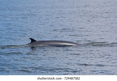 Bryde's whale in the deep blue sea