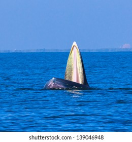 Bryde's whale eating small fish in gulf of thailand