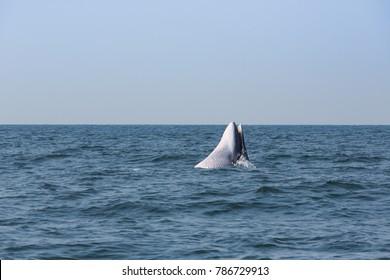 Bryde's whale, Eden's whale, Eating fish at gulf of Thailand. / Bangtaboon  Ban Laem Phetchaburi in Thailand.