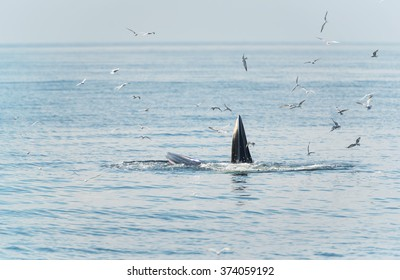 Bryde's whale feeding in the Gulf of Thailand