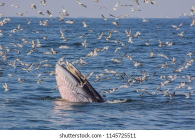 Bryde's whale feeding with seagulls eat small fish from the mouth in Thai gulf