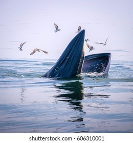 Bryde's whale feeding with seagulls in the gulf of Thailand