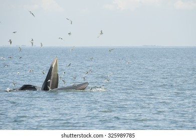 Bryde's whale, whale in gulf of Thailand
