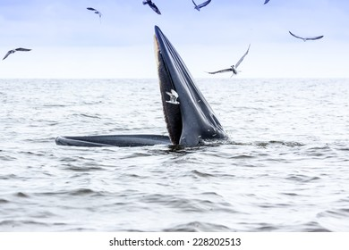 Bryde's whale in Petchburi , Thailand