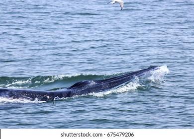 Bryde's whale : Phetchaburi provinces ; Thailand