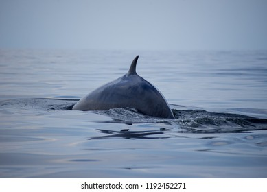 Bryde's whale shot in Gulf of Thailand.