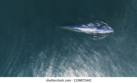 Bryde's whale swimming at Gulf of Thailand. Taking with Drone in High angle view.