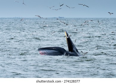 Bryde's Whale in Thai Gulf.