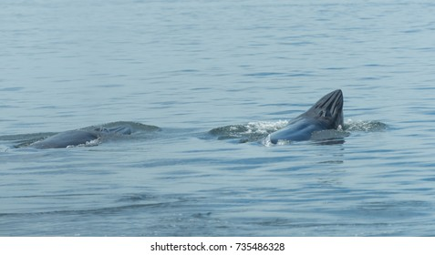Bryde's whale in Thailand Ocean