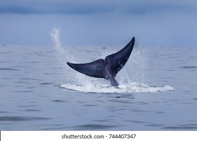 Bryde's whale(Balaenoptera brydei) show her tail in sea in Thailand with sea water