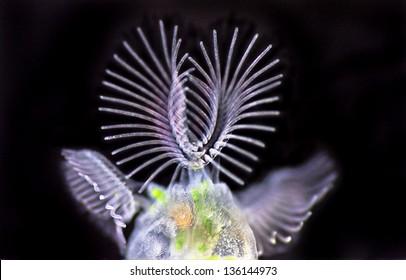 Bryozoa - Cristatella mucedo - moss animal - bryozoans - darkfield