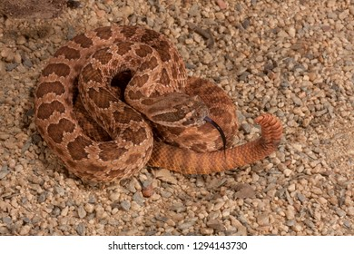 BTB Crotalus viridis nuntius - Hopi Rattlesnake photographed in a private collection closeups and macro photos