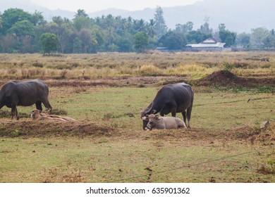 Bubalus bubalis or Swamp buffalo