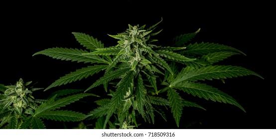 Bubba kush variety of medical marijuana with black background