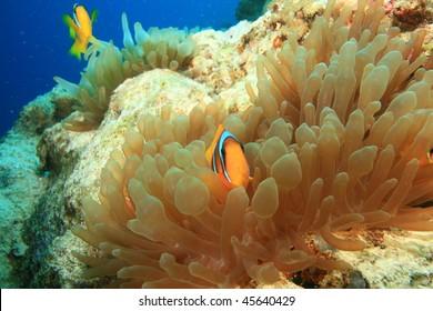 Bubble Anemones with anemonefish